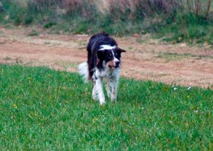 Herding Border Collie Magazine Mayo 2011